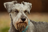 Minature schnauzer dog close up