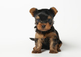 Puppy of the Yorkshire terrier on the white background