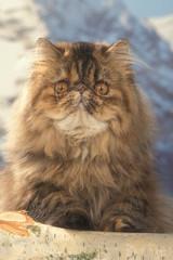 chat persan de face - tête étrange qui fait peur et intrigue