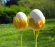 Eggs in tulips