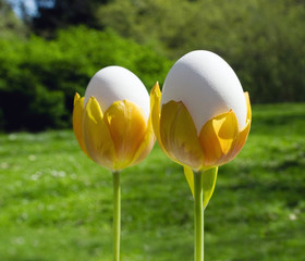 Eggs in tulips