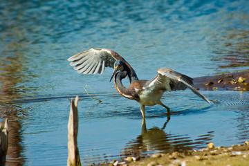 tiptoeing tri-colored heron