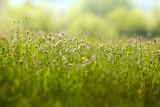 graminé céréale allergie médicament pollen graine plante poster