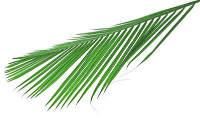 palme de palmier-palmiste sur un fond blanc
