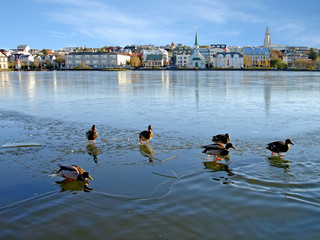 Ducks on ice in Reykjavik, Iceland