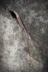 Seychelles Skink (lizard) on the tree in Valle de Mai
