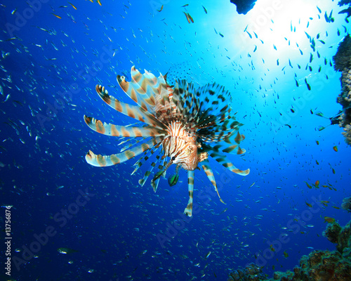 Lionfish hunting Glassfish
