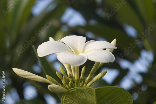 White flower on Seychelles