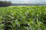 landscape for plants luxuriant in field of broad beans