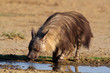 Brown hyena (Hyaena brunnea), Kalahari, South Africa