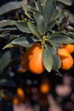 chinese orange cultivation