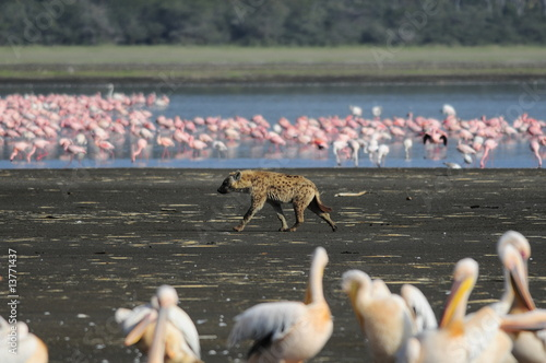 The Spotted Hyena (crocuta crocuta) hunting at lake Nakuru