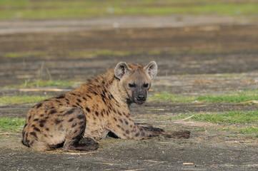 The Spotted Hyena (crocuta crocuta), lake Nakuru, Kenya
