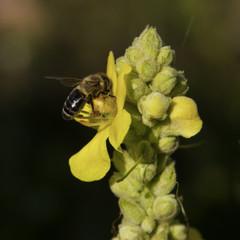 Biene auf Königskerze