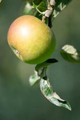 Apfelbaum #4