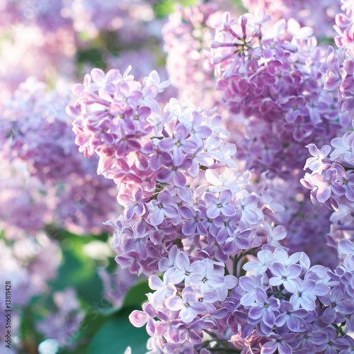 Fotobehang Lilac Spring Lilac