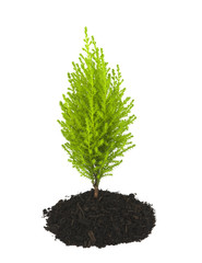Cypress Pine Sapling Growing out of Soil Clump - Isolated
