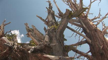 Sun Shining through Bristlecone Pine, Yosemite National Park