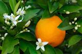 Fototapety Orangenblüten und Orange am Strauch