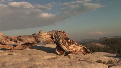 Bristlecone Pine trunk, Sentinel Dome, Yosemite National Park