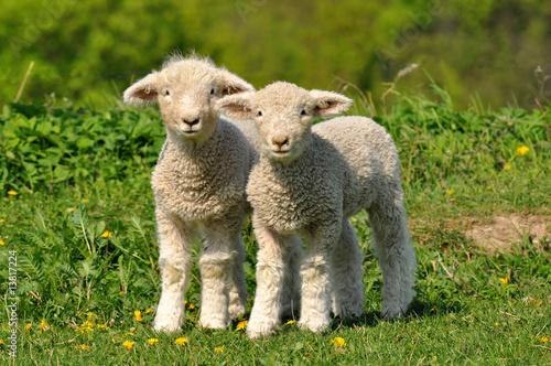Fotobehang Schapen two cute lambs