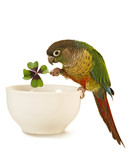 Green-cheeked Conure 7 poster