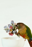 Green-cheeked Conure 8 poster