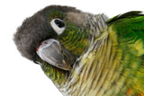 Green-cheeked Conure 10 poster