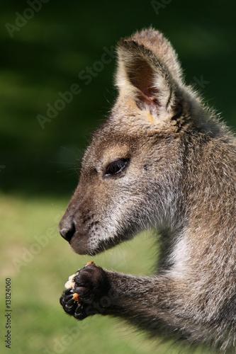 Foto op Canvas Kangoeroe Brot fressendes Bennett-Känguru