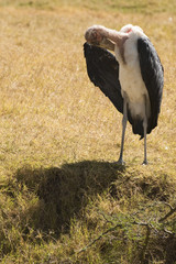 Lone Marabou stork