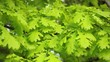 White Oak tree leaves