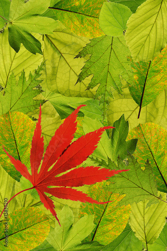 Fresh park tree leaves with red maple leaf