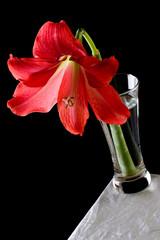 Hippeastrum in vase