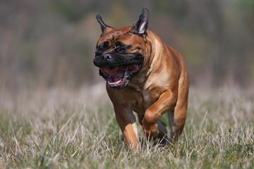 chien mastiff de face courant dans un champ- effort- molosse