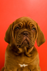 Dogue De Bordeaux puppy isolated on a red background