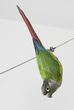 Green-cheeked Conure 13 poster