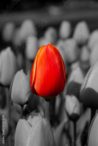 Poster Rood, zwart, wit Red Tulip