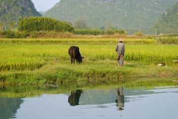 Farmer with bull near Yangshuo, China
