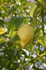 Lemontree 1