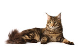 Maine-coon cat poster