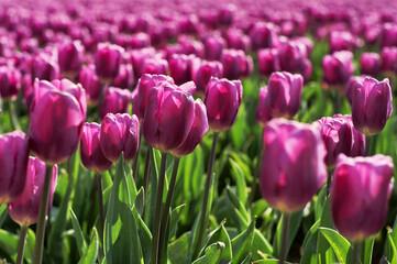 Field full of tulips