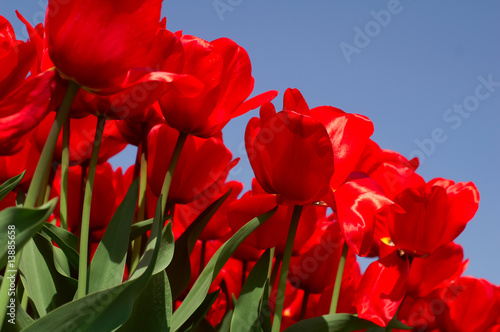 Red tulips, green leafs and blue sky