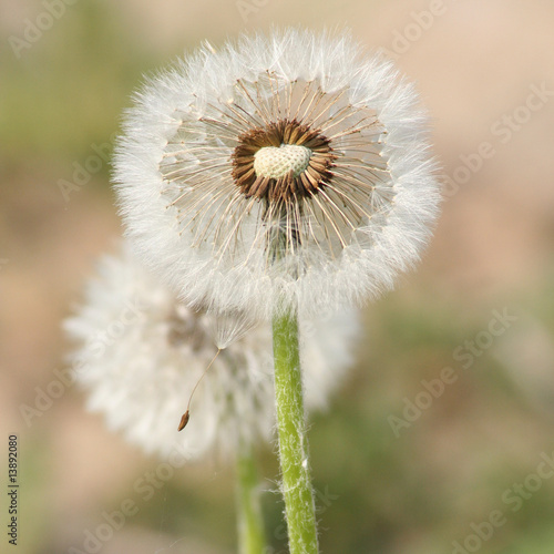 Dandelion's blow ball - 13892080