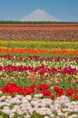 Tulip fields, snow-covered mountain