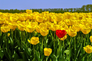 A single red tulip among many yellow ones