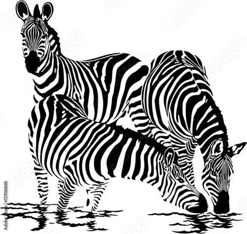 Three zebras drink water|13906868