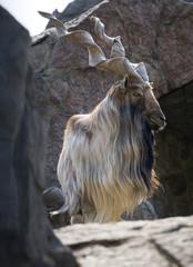 Mountain Goat Close Up Portrait