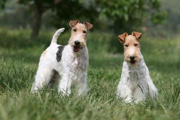 deux fox-terriers adultes de face dans une prairie verte