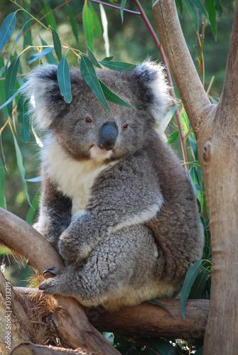 Foto op Aluminium Koala Koala, Australia