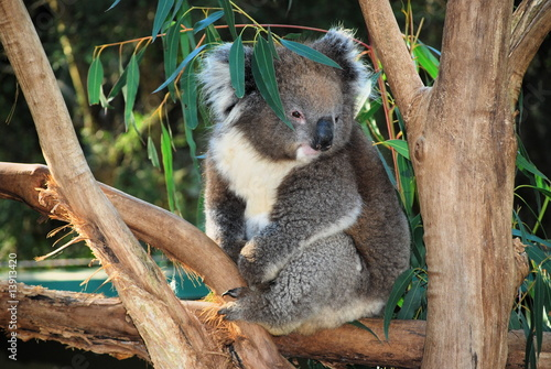 Foto Spatwand Koala Koala, Australia